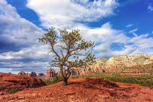 """Tree with a View"" • Sedona, AZ Landscape Photograph by Susie Reed"